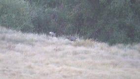 Δύο deers που περπατούν γύρω στο κρατικό πάρκο βουνών Palomar φιλμ μικρού μήκους