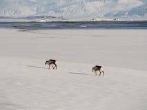 Δύο deers Στοκ Φωτογραφίες