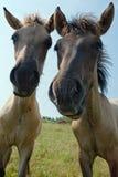 Δύο foals που εξετάζουν τη κάμερα Στοκ φωτογραφίες με δικαίωμα ελεύθερης χρήσης