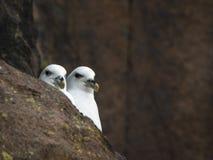 Δύο fulmars που κάθονται σε έναν δύσκολο απότομο βράχο Στοκ φωτογραφία με δικαίωμα ελεύθερης χρήσης