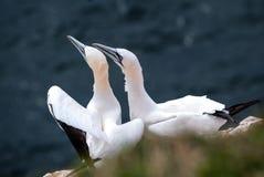 Δύο gannets που κάθονται από κοινού Στοκ Φωτογραφία
