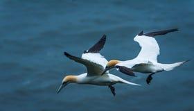 Δύο gannets στους απότομους βράχους bempton, Γιορκσάιρ, UK Στοκ Εικόνες