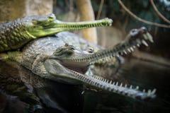 Δύο gavials στοκ εικόνα