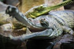 Δύο gavials στοκ φωτογραφίες