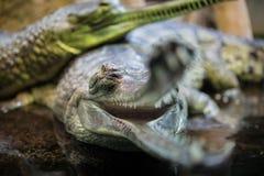 Δύο gavials στοκ φωτογραφία με δικαίωμα ελεύθερης χρήσης