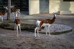 Δύο gazelles στο ζωολογικό κήπο της Φρανκφούρτης στοκ φωτογραφία