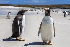Δύο Gento Penguins κινηματογράφηση σε πρώτο πλάνο στα Νησιά Φόλκλαντ νησί-4 Στοκ Εικόνες