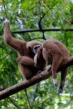 Δύο Gibbon Στοκ Εικόνες