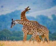 Δύο giraffes στη σαβάνα Κένυα Τανζανία ανατολικό maasai Μάρτιος χορού της Αφρικής 5 2009 που εκτελεί τον του χωριού πολεμιστή της Στοκ εικόνες με δικαίωμα ελεύθερης χρήσης