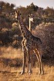 Δύο giraffes στη σαβάνα, στη Ναμίμπια Στοκ φωτογραφίες με δικαίωμα ελεύθερης χρήσης