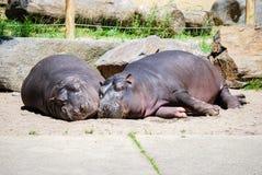 Δύο hippopotamuses Στοκ Εικόνες
