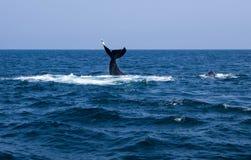 Δύο Humpbacks που κολυμπούν μια ουρά ένα πτερύγιο Στοκ εικόνες με δικαίωμα ελεύθερης χρήσης