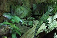 Δύο iguanas στους κορμούς στοκ φωτογραφία