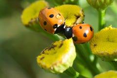 Δύο ladybugs φιλούν το ένα το άλλο στοκ εικόνες