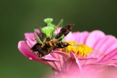 Δύο Mantis Στοκ Εικόνες
