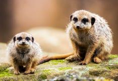Δύο meerkats που κάθονται στην πέτρα Στοκ εικόνα με δικαίωμα ελεύθερης χρήσης