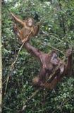 Δύο Orangutans που κρεμούν στα δέντρα Στοκ φωτογραφία με δικαίωμα ελεύθερης χρήσης