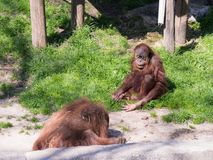 Δύο orangutans Sumatran παιχνίδι Pongo Abelii στο έδαφος στην ηλιόλουστη ημέρα Στοκ φωτογραφία με δικαίωμα ελεύθερης χρήσης