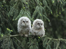 Δύο owlets που σκαρφαλώνουν στον κλάδο δέντρων Στοκ φωτογραφία με δικαίωμα ελεύθερης χρήσης