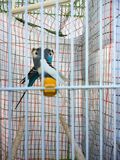 Δύο parakeets στη συμμετρία στοκ φωτογραφίες