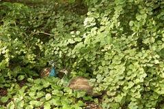 Δύο peacocks ερωτευμένα Στοκ εικόνες με δικαίωμα ελεύθερης χρήσης