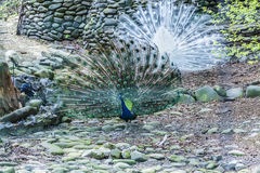 Δύο peacocks περπατούν τη γη με τις ουρές στοκ φωτογραφίες