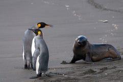 Δύο Penguins, μια σφραγίδα Στοκ εικόνα με δικαίωμα ελεύθερης χρήσης