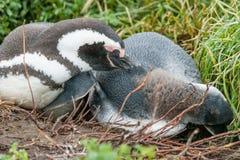 Δύο penguins που βρίσκονται στο έδαφος Στοκ εικόνες με δικαίωμα ελεύθερης χρήσης