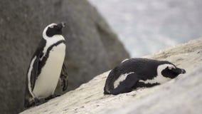 Δύο penguins που στηρίζονται στους λίθους απόθεμα βίντεο