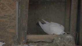Δύο pigeonss που ραμφίζουν τα τρόφιμα φιλμ μικρού μήκους
