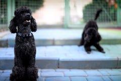 Δύο poodles παιχνιδιού στοκ φωτογραφίες