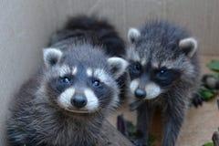 Δύο racoons φαίνονται προς τα εμπρός Στοκ Εικόνες