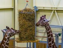 Δύο reticulated giraffes που τρώνε από ένα καλάθι σανού, ζωικός εξοπλισμός σίτισης ζωολογικών κήπων στοκ φωτογραφία με δικαίωμα ελεύθερης χρήσης