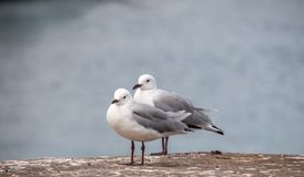 Δύο seagulls από το νερό Στοκ φωτογραφία με δικαίωμα ελεύθερης χρήσης