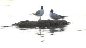 Δύο seagulls καθαρίζουν τα φτερά τους σε μια πέτρα που ξεχωρίζει από το νερό απόθεμα βίντεο