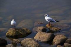 Δύο seagulls περίπατος Στοκ εικόνα με δικαίωμα ελεύθερης χρήσης