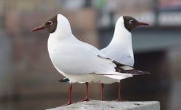 Δύο seagulls που κάθονται στο φράκτη γρανίτη και κοιτάζουν στις διαφορετικές κατευθύνσεις Στοκ φωτογραφία με δικαίωμα ελεύθερης χρήσης