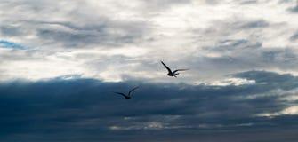 Δύο seagulls που πετούν ενάντια στο δραματικό νεφελώδη θυελλώδη ουρανό Στοκ φωτογραφίες με δικαίωμα ελεύθερης χρήσης