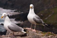 Δύο seagulls Στοκ εικόνες με δικαίωμα ελεύθερης χρήσης