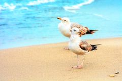 Δύο seagulls στην αμμώδη ακτή άγριο δάσος τραγουδιού φύσης αγάπης αγριόγαλλων ηξών Θέση FO στοκ εικόνα