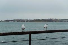 Δύο seagulls στην αποβάθρα πόλεων Στοκ Εικόνες