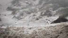 Δύο seagulls στους αμμόλοφους άμμου στο ομιχλώδες πρωί Στοκ Φωτογραφίες