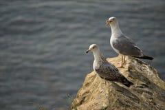 Δύο seagulls Στοκ Εικόνες