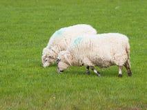 Δύο sheeps που βόσκουν στο λιβάδι - Ovis aries Στοκ Εικόνες