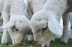 Δύο sheeps που τρώνε τη χλόη στοκ φωτογραφίες με δικαίωμα ελεύθερης χρήσης
