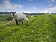 Δύο sheeps στο ανάχωμα Στοκ εικόνες με δικαίωμα ελεύθερης χρήσης