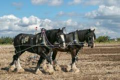 Δύο shire άλογα που οργώνουν παρουσιάζουν Στοκ Εικόνα