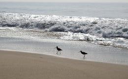 Δύο Shorebirds στην παραλία Στοκ εικόνες με δικαίωμα ελεύθερης χρήσης
