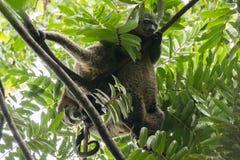 Δύο Sulawesi αντέχουν το ursinus Ailurops cuscus σε ένα δέντρο στο εθνικό πάρκο Tangkoko, ο Βορράς Sulawesi Στοκ Εικόνες