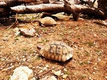 Δύο tortoises περπατούν στοκ φωτογραφίες